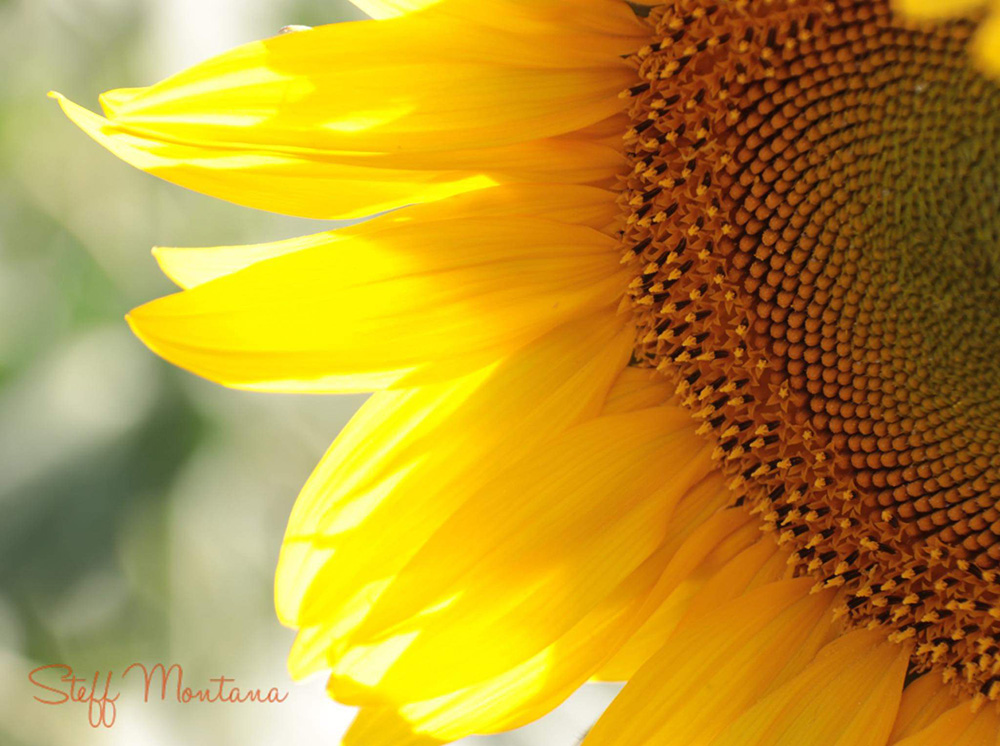 Steff Montana Pictures-tournesol